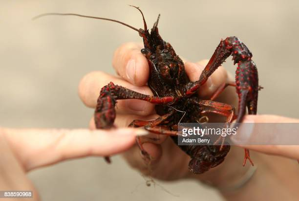 Visitors test the strength of the claws of a Louisiana crawfish or Procambarus clarkii in the Tiergarten park on August 24 2017 in Berlin Germany...