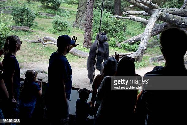 Visitors to the Bronx zoo's Congo exhibit try to communicate with the resident goriallas