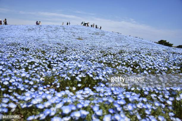 Visitors view nemophila flowers in full bloom April 10 at Hitachi Seaside Park in Hitachinaka northeast of Tokyo ==Kyodo