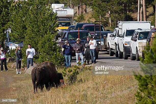 visitors viewing bison near the road in Yellowstone National Park Wyoming USA