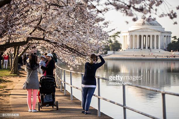Visitors walk along the Tidal Basin under a canopy of blooming Cherry Blossom trees in Washington USA on March 24 2016