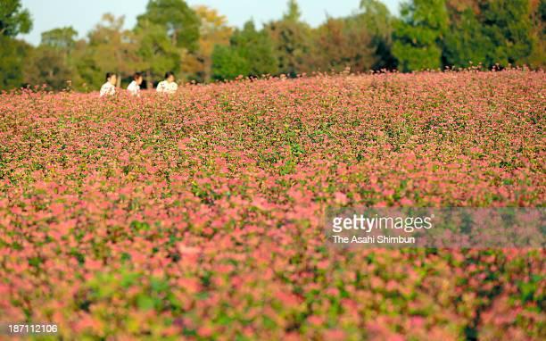 Visitors walk among fullybloomed buckwheat field at the Yoshinogari Historical Park on November 5 2013 in Yoshinogari Saga Japan