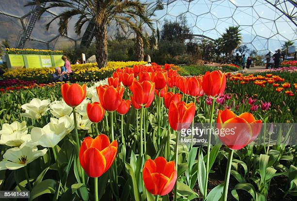 Visitors walk among the flowers inside one of the biodomes at the Eden Project on March 17 2009 near St Austell England After one of the coldest...