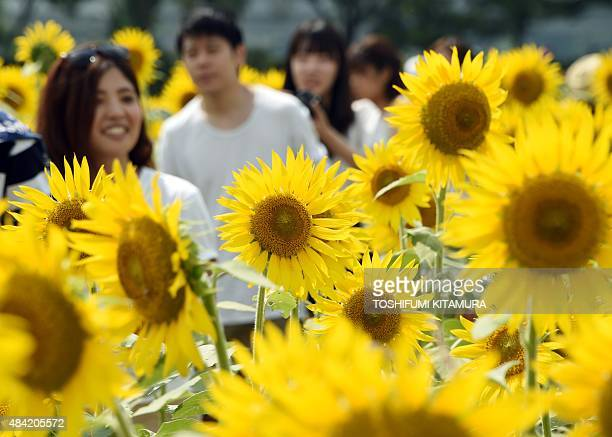 Visitors walk in a field of sunflowers during the 2015 Zama Sunflower Festival in Zama Kanagawa prefecture on August 16 2015 Some 50000 visitors were...