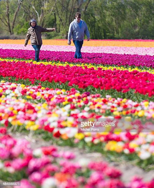 Visitors walk in the flower fields on April 13 2014 in Noordwijkerhout Netherlands The fields are in bloom early this year due to the very mild...