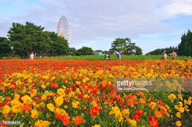Visitors walk in the fully bloomed Sulfur Cosmos at the National Hitachinaka Kaihin Park on September 28 2013 in Hitachinaka Ibaraki Japan