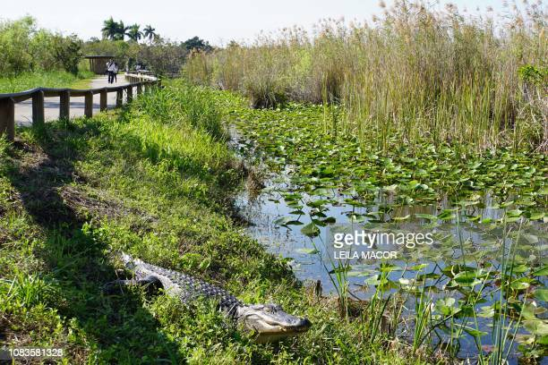 Visitors walk near a Florida alligator on the Anhinga Trail in Everglades National Park in Homestead, Florida, on January 16, 2019. - Four weeks into...