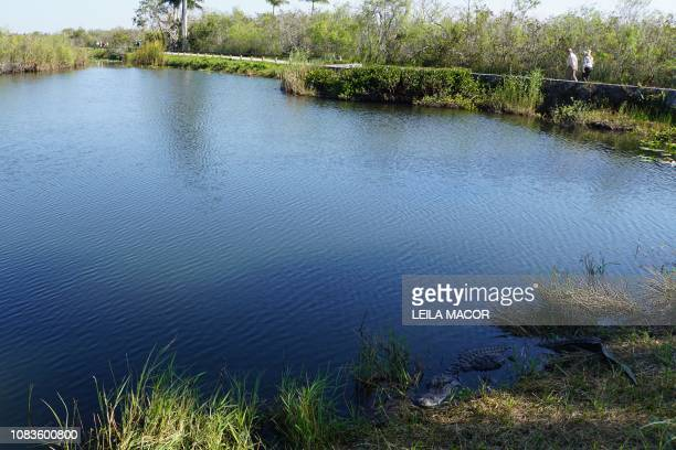 Visitors walk near a Florida alligator on the Anhinga Trail in Everglades National Park in Homestead Florida on January 16 2019 Four weeks into the...