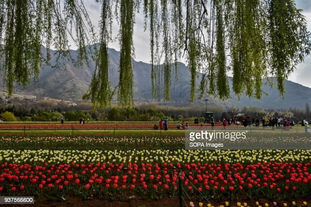 Visitors walk near tulip flowers inside the Asia's largest Tulip Garden in Srinagar Indian administered Kashmir Asias largest tulip garden is...