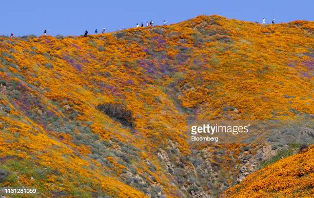 Visitors walk through poppy fields during a 'super bloom' in Lake Elsinore California US on Saturday March 16 2019 California is free of drought for...