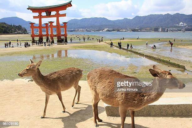 Visitors walk to the shrine gate on the ebb while deers are seen in the foreground at Itsukushima Shrine on March 29 2010 in Hatsukaichi Hiroshima...