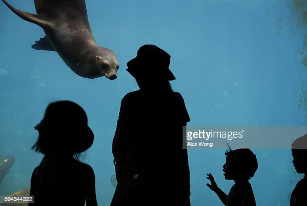 Visitors watch a California sea lion at the Smithsonian National Zoological Park August 22 2016 in Washington DC Bei Bei the youngest giant panda cub...