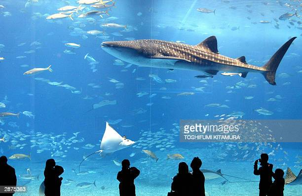 Visitors watch a sevenmetrelong whale shark and manta ray swimming in a worlds' largest aquarium with its front panel size of 82 metre x 225 metre at...