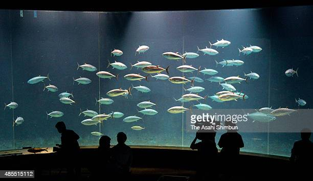 Visitors watch blue fin tuna swim in a water tank where all the yellow tapes are removed at the Tokyo Sea Life Park aka Kasai Rinkai Aquarium on...