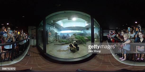 Visitors watch giant panda Bao Bao in her enclosure at the David M Rubenstein Family Giant Panda Habitat of the Smithsonian National Zoological Park...