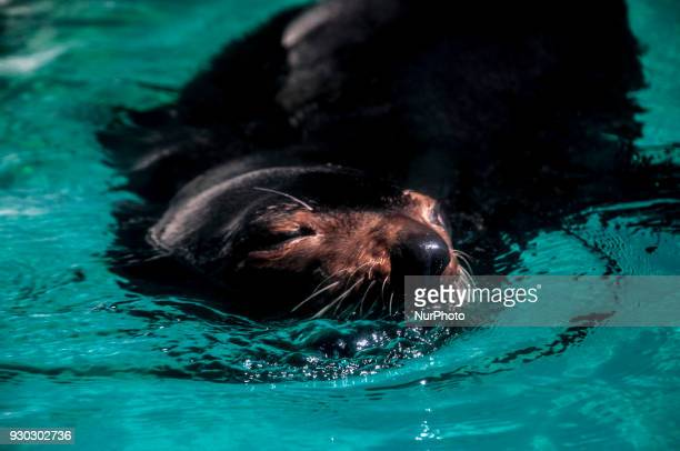 Visitors watch sea lion as she swims with fish in a giant tank during a show at an aquarium in Sao Paulo Brazil on March 11 2018