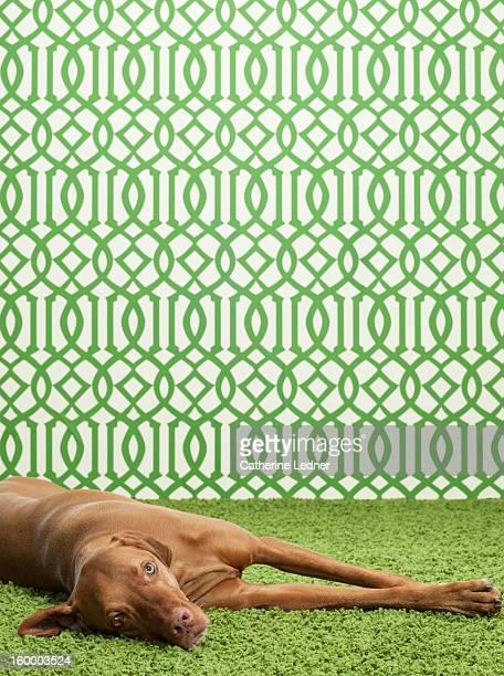 Visla Dog Lying Down on Fancy Set