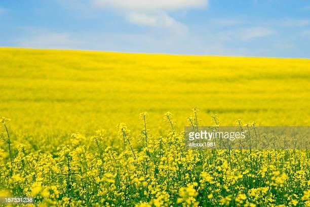 Vista of a field of yellow oilseed rape flowers