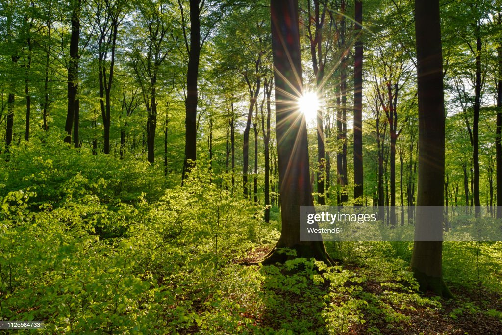 Vital green forest in spring with sun and sunbeams, Westerwald, Rhineland-Palatinate, Germany : Stock-Foto