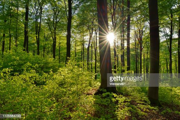 vital green forest in spring with sun and sunbeams, westerwald, rhineland-palatinate, germany - wald stock-fotos und bilder