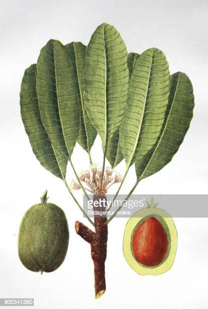 Vitellaria paradoxa formerly Butyrospermum parkii commonly known as shea tree shi tree historical illustration 1880