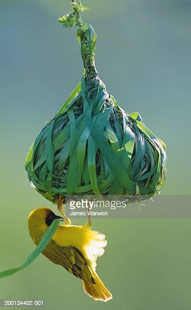 vitelline masked weaver building nest, close-up - animal nest stock pictures, royalty-free photos & images