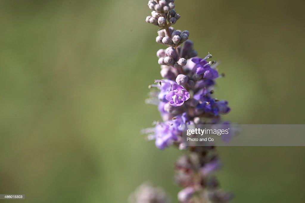 Vitex agnus castus flower : Stock Photo