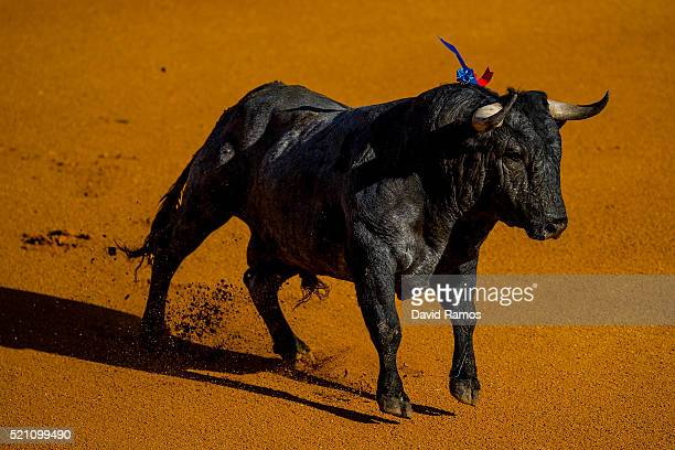 Vitorino Martin ranch fighting bull runs on the arena during a bullfight at La Maestranza bullring on the second day of the Feria de Abril on April...