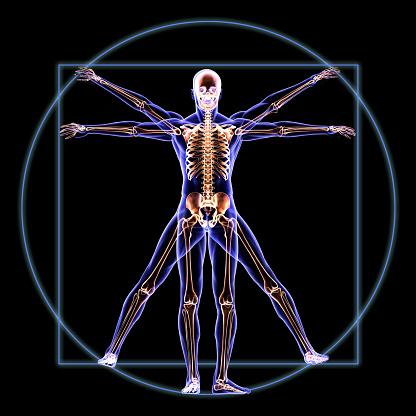 Vitruvian Skeleton Man Anatomy 496031805