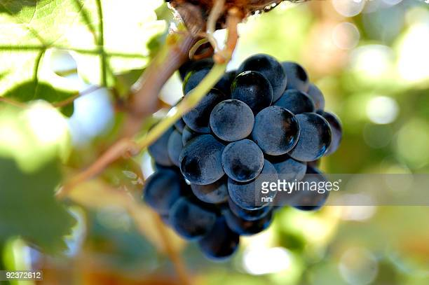 animado shiraz - cabernet sauvignon grape - fotografias e filmes do acervo