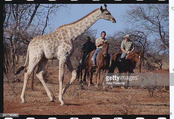 Vivian Wilson and Allain Bougrain Dubourg observe the passage of a giraffe from their saddles | Location Chipangali Zimbabwe