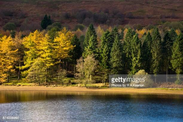 vivid autumn colour beside derwent reservoir, peak district national park - laubbaum stock-fotos und bilder