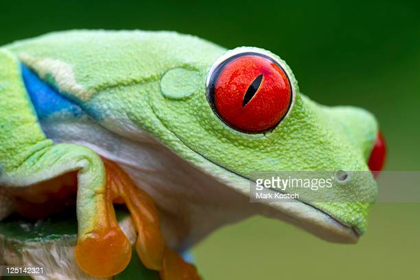 Vivid Color - Red-eyed Tree Frog