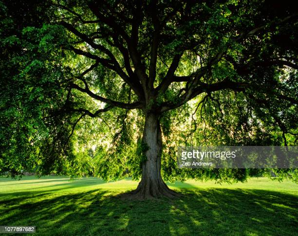 vivid green tree at sunrise in public park in portland, oregon - tree trunk stock pictures, royalty-free photos & images