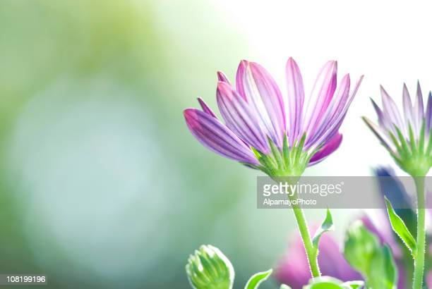 Vivid Purple Osteospermum Daily Flowers