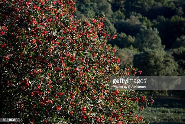 Vivid red berries on a Rowan tree in late summer