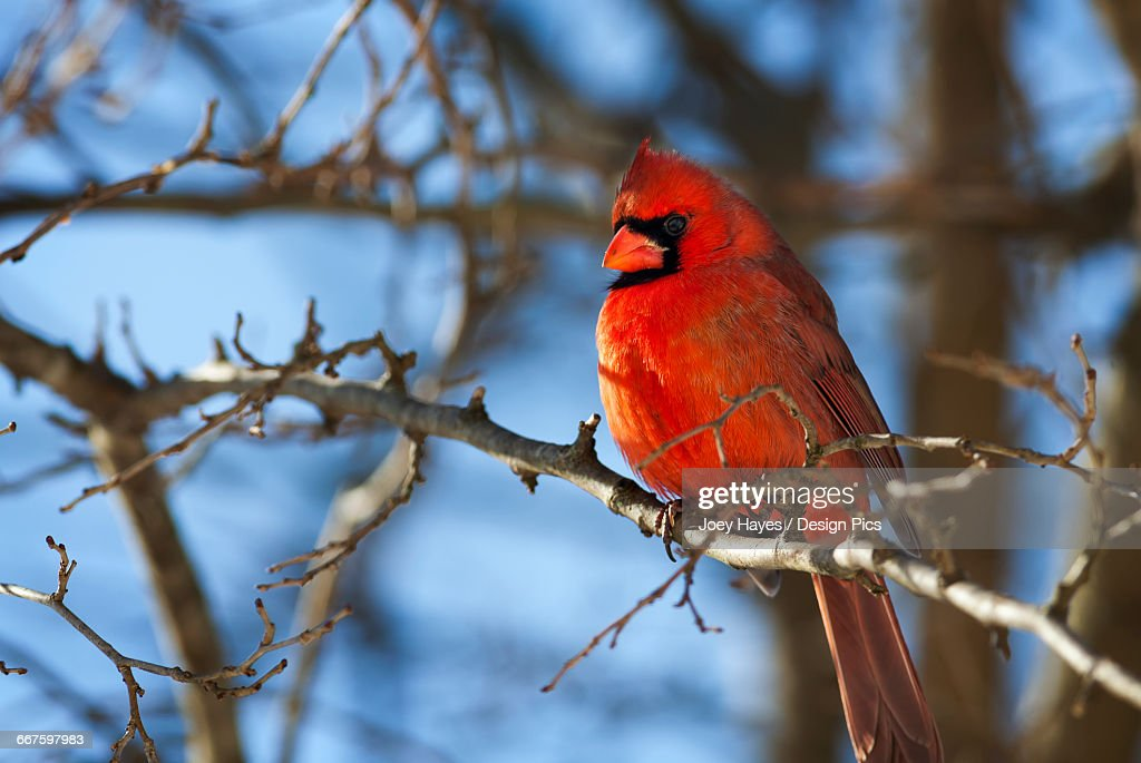 Vivid red Cardinal (Cardinalis cardinalis) sitting on a tree branch with a beautiful blue sky in the background : Stock Photo