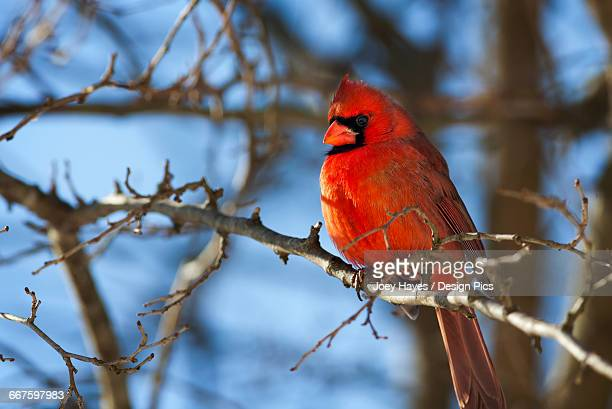vivid red cardinal (cardinalis cardinalis) sitting on a tree branch with a beautiful blue sky in the background - blue cardinal bird stock pictures, royalty-free photos & images