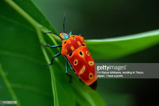 Vivid sieldbug