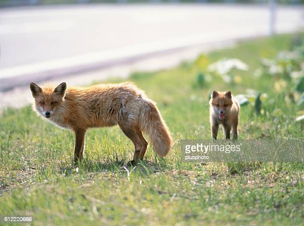 Vixen and her cub on the roadside