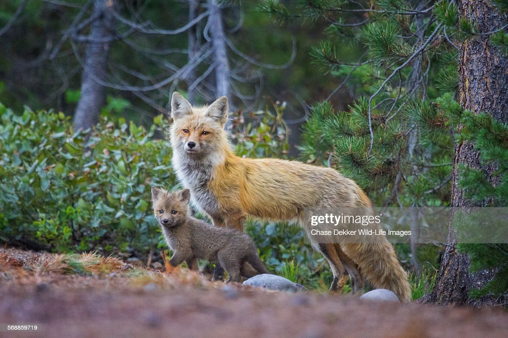 Vixen and Kit : Stock Photo