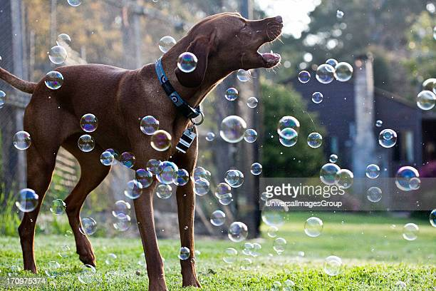 Vizsla Dog jumping with soap bubbles in outdoor garden setting