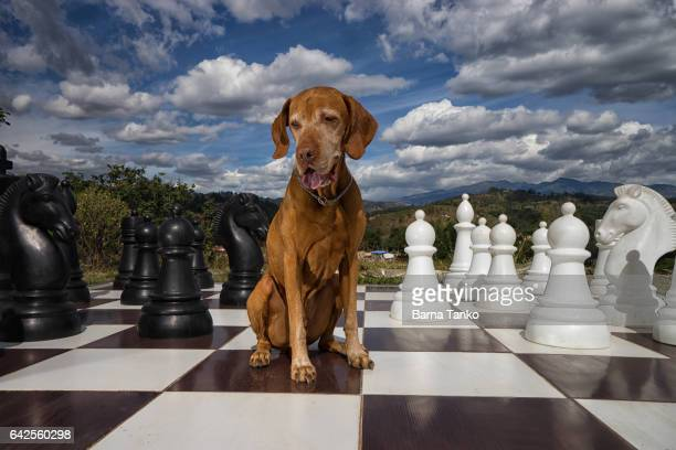 vizsla dog on chess board