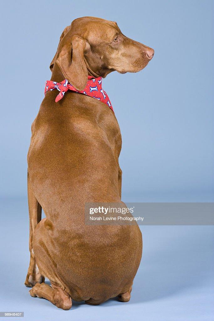 Vizsla Dog Portrait with Red Handkerchief : Stock Photo