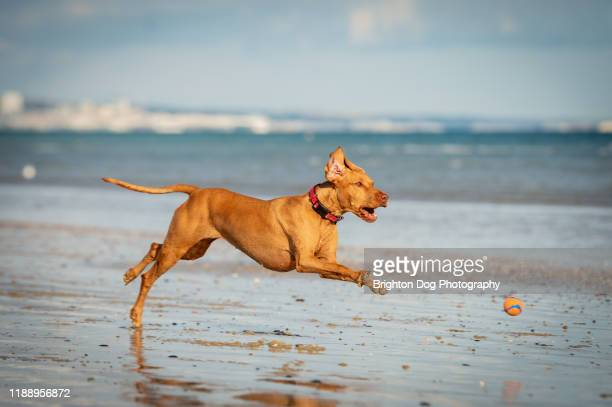 vizsla dogs playing on the beach - pointer dog stock pictures, royalty-free photos & images