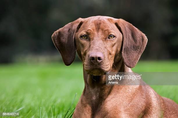 Vizsla hunting dog with golden rust coat in garden Belgium