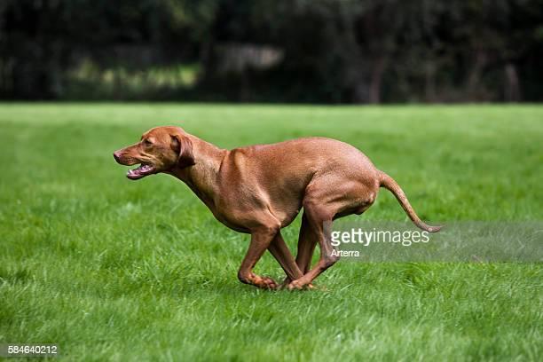 Vizsla hunting dog with golden rust coat running in field Belgium