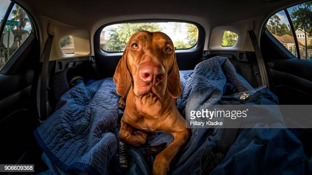 vizsla laying down in back of vehicle - boot stock pictures, royalty-free photos & images