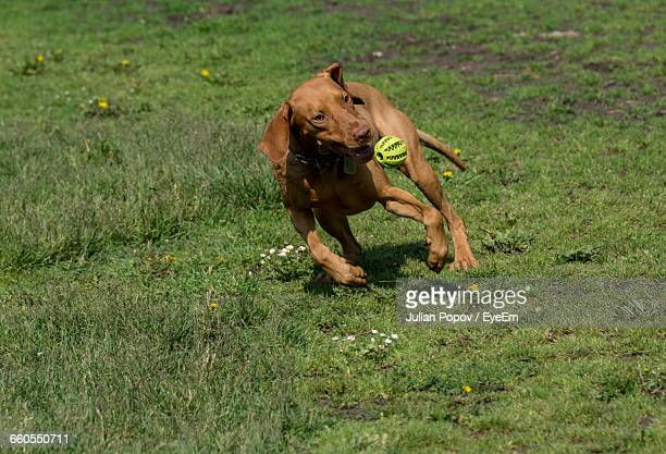 Vizsla Playing With Ball On Grassy Field