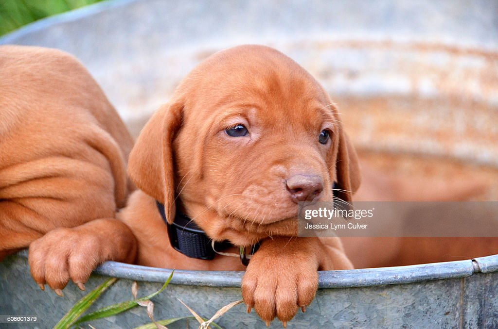 Vizsla puppies in a rusty galvanized bucket : Foto de stock